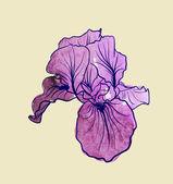 Fotografia fiore di Iris