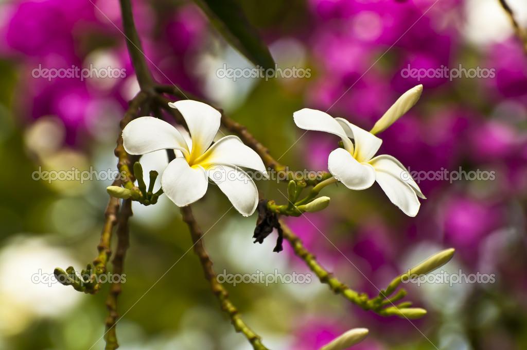 Exotic frandipani flowers