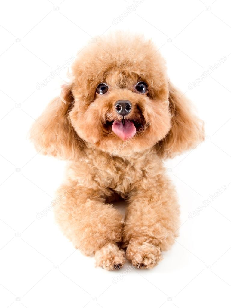 Cute Toy Poodle Puppies For Sale Red Toy Poodle Puppy Stock Photo C Rakijung 49467321