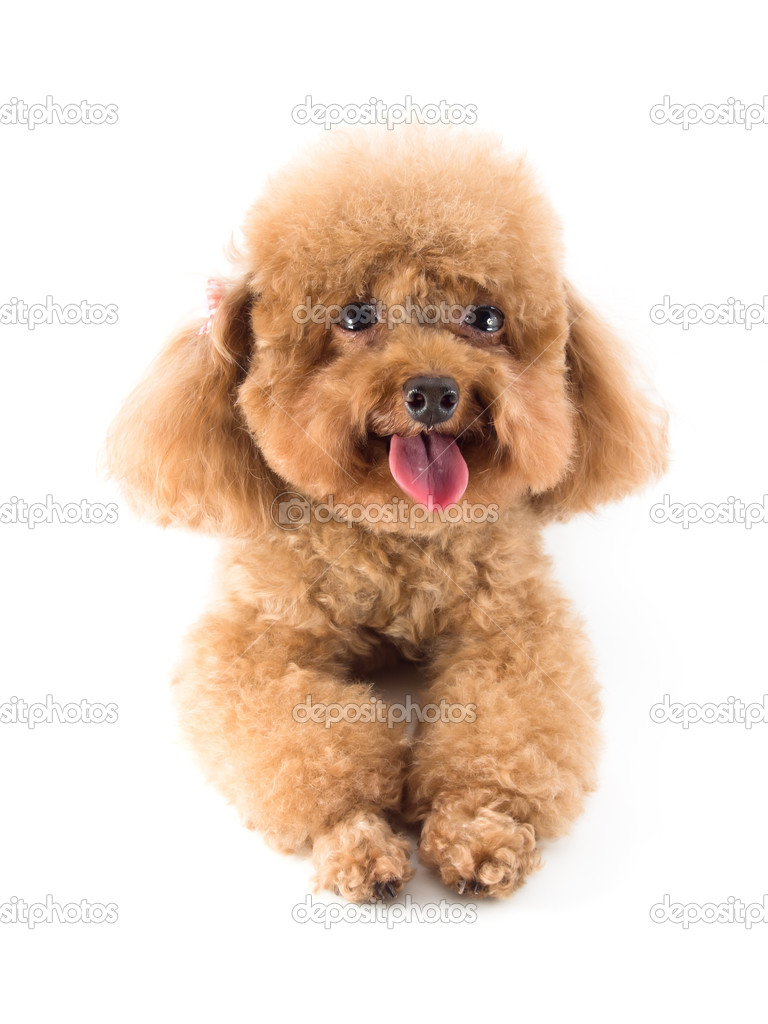 Cute Toy Poodles For Sale Red Toy Poodle Puppy Stock Photo C Rakijung 49467337