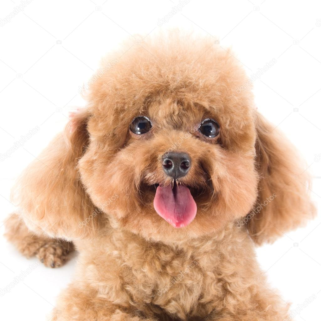 Cute toy poodle for sale | Red Toy Poodle puppy — Stock