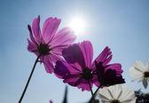 Kozmosz virágok virágzó naplemente