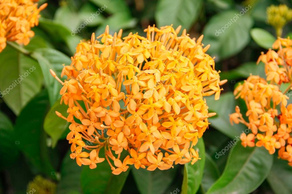 orange ixoras flower