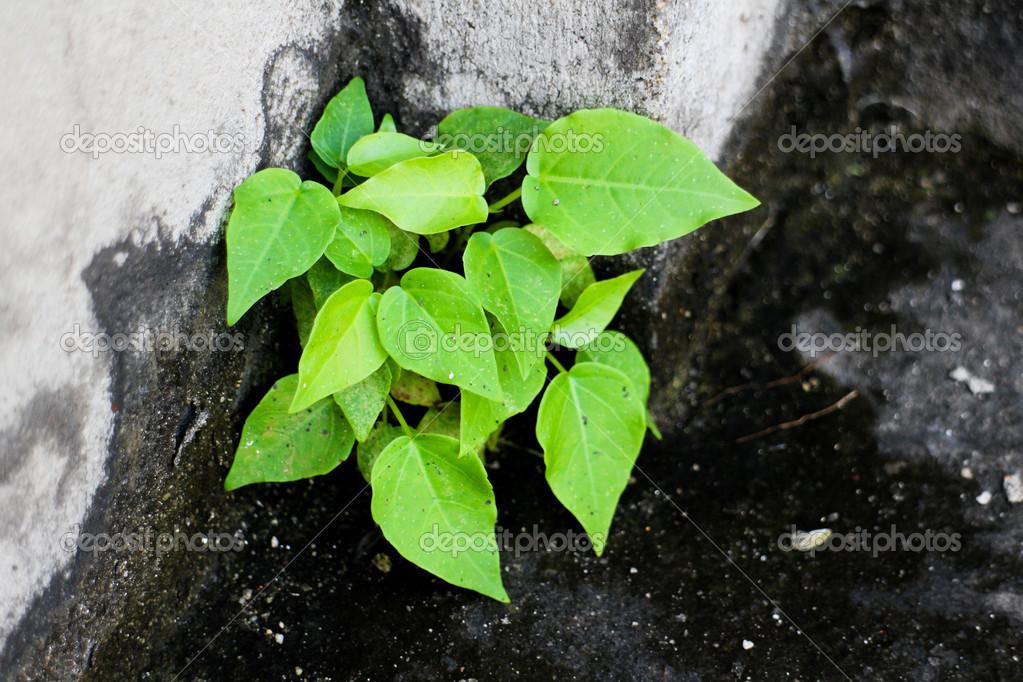 Bodhi tree was born in the wall