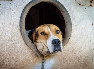 Sad dog on a chain in kennel