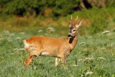 Red roe deer