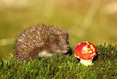 Hedgehog with fly agaric