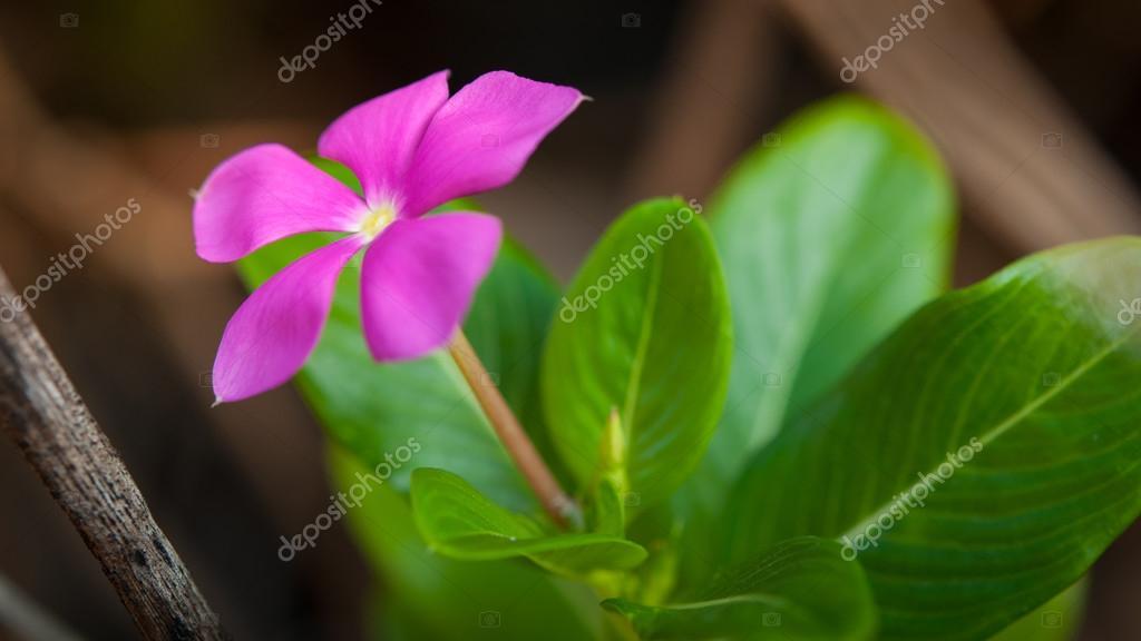 Watercress flowers