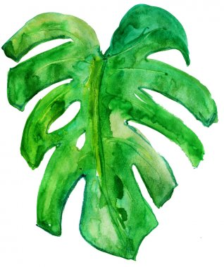 Tropical leaf of Monstera