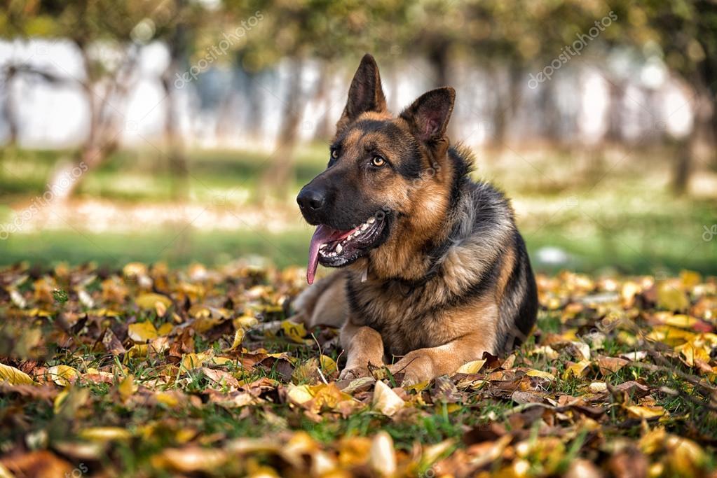 German Shepherd Alsatian Police Dog