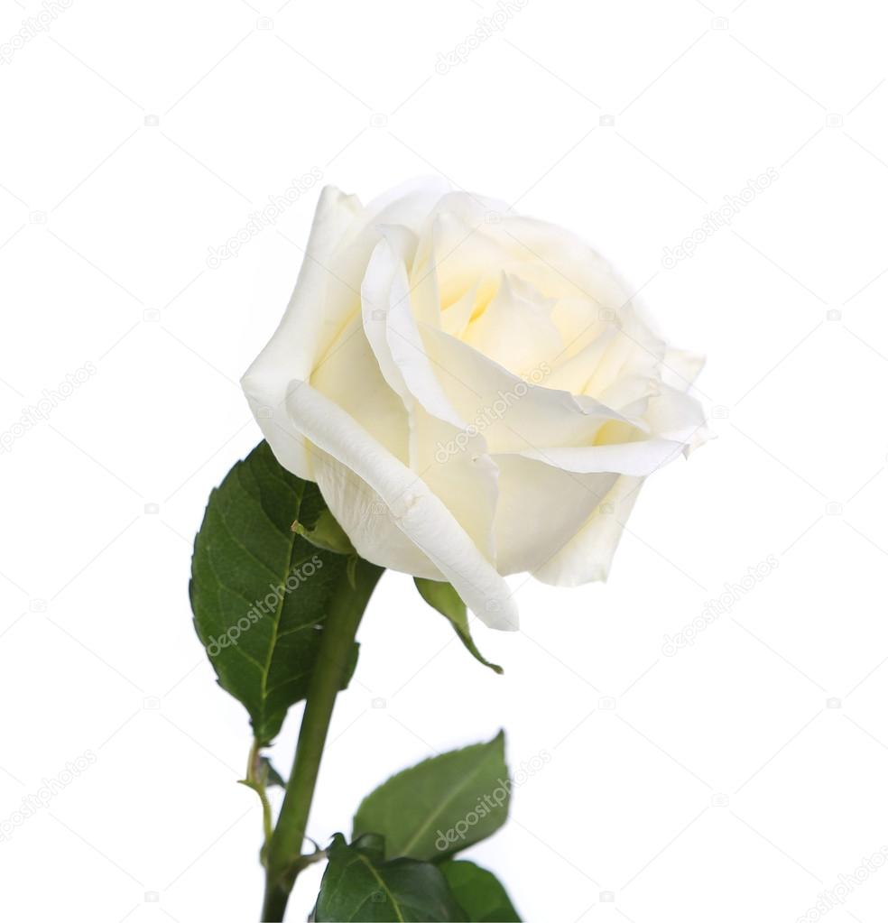Seule rose blanche avec tige et feuilles photographie - Rose avec tige ...
