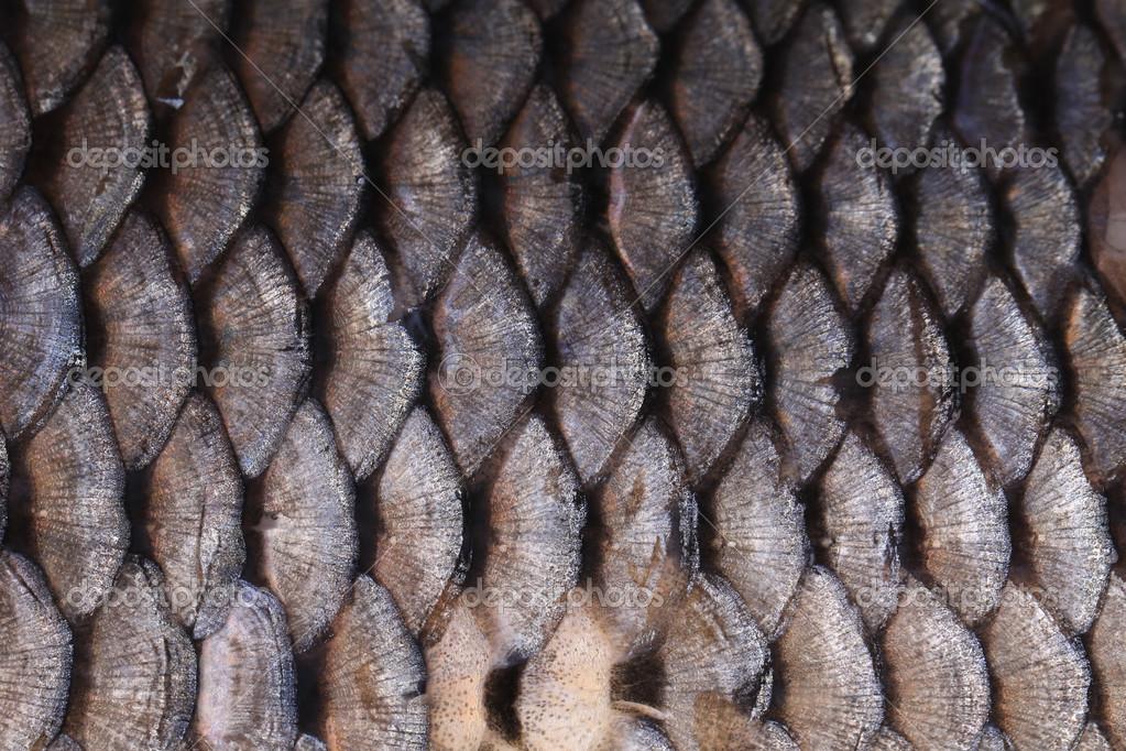 fischschuppen stockfoto fischschuppenkrankheit