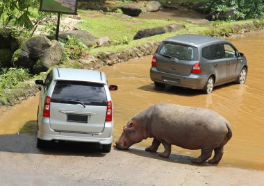 Hippopotamus eat carrots, which he threw out of the car