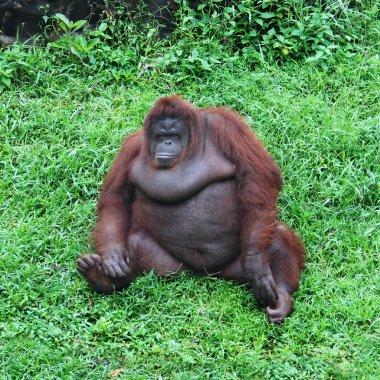 Big monkey on the green grass