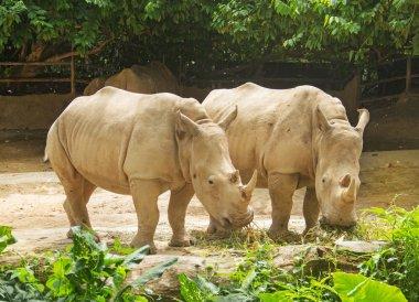 A pair of big rhinoceros