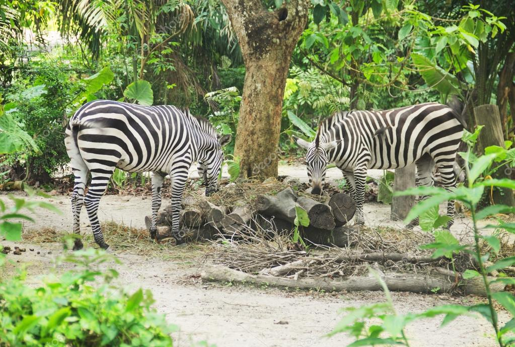 Two young zebra eating food