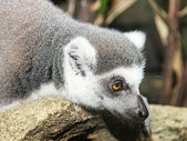 Photo lemurs in the forest