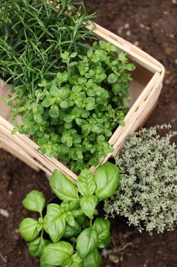 Herbs prepared for planting