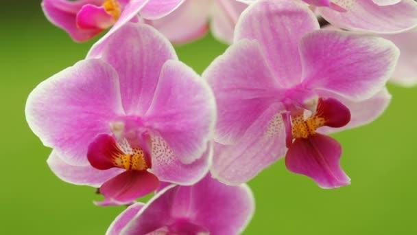 orchidea részletesen