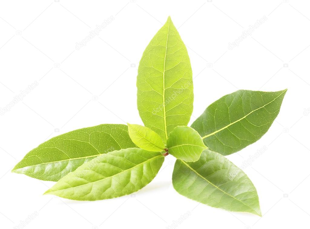 Branch of bay leaf on white background