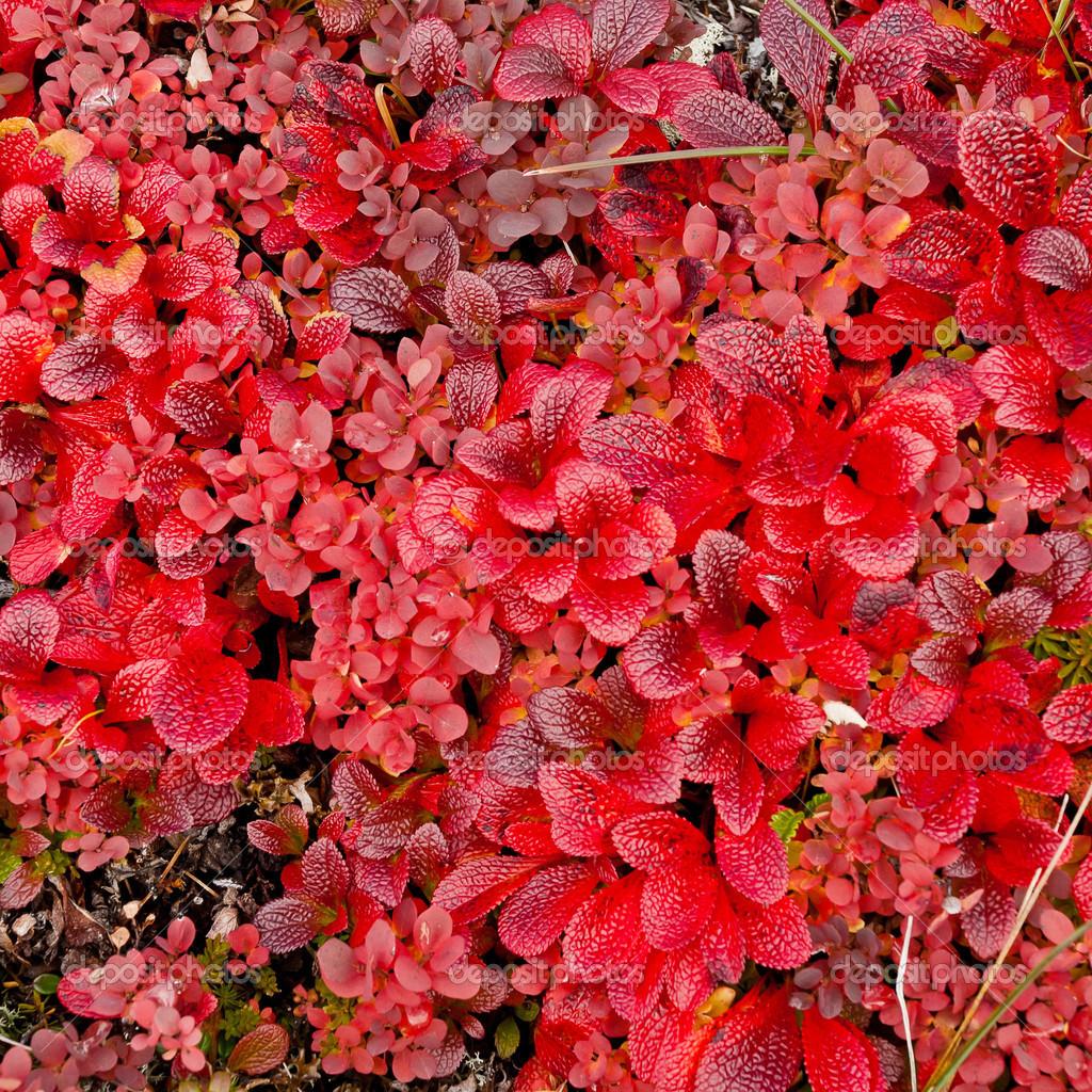 Planta enana con hojas rojas foto de stock revetina01 for Pianta con foglie rosse
