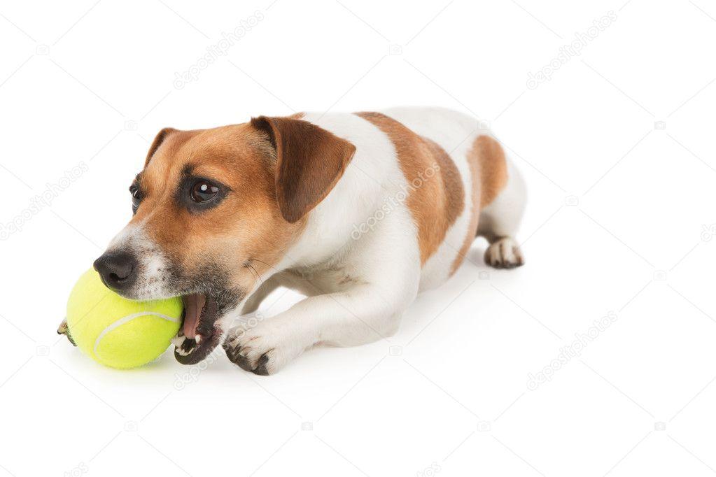 Hund mit vergnügen kaut gelber tennisball jack russel