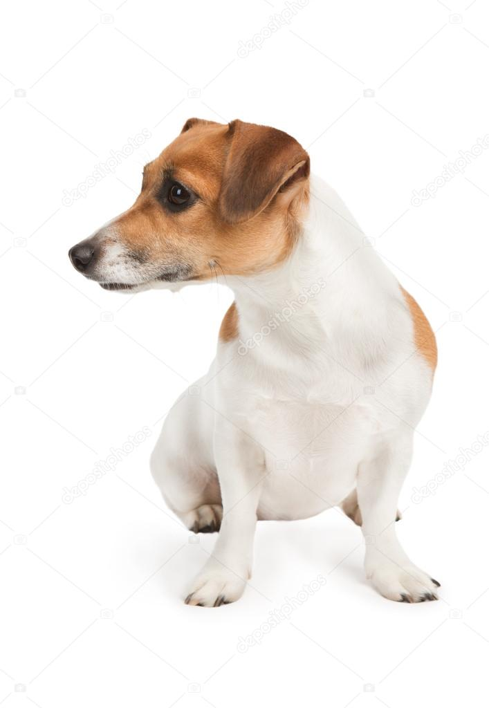cute jack russel terrier dog dog look to the side on white background studio shot stock. Black Bedroom Furniture Sets. Home Design Ideas