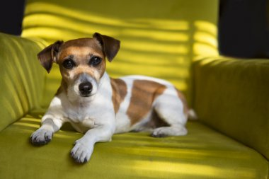 Cute dog relaxing on the green armchair