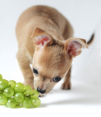 Still life composition with chihuahua puppy, fruit and wicker dish