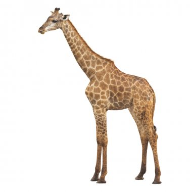 Giraffe on a white background with clipping path