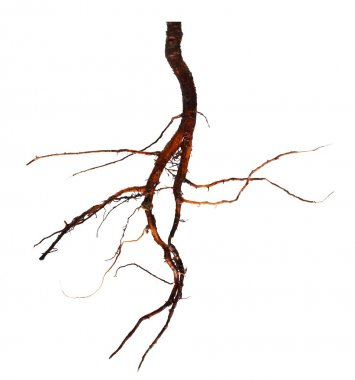 Roots tree isolated on a white background
