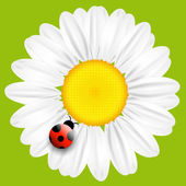 Fotografie Vector daisy flower isolated