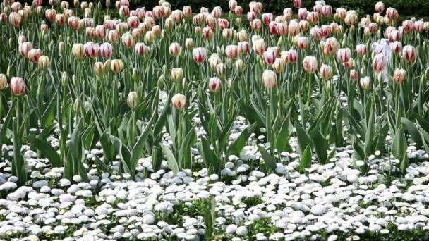 sbocciano tulipani e altri fiori
