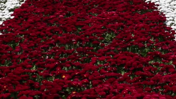 Zoom out of red and white daisies in garden