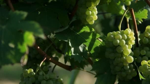 jeřáb shot z sceneric vinic s úžasnou krajinou v pozadí