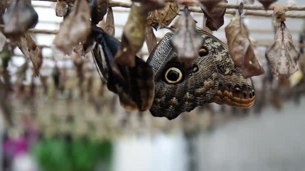 Butterflies resting among coccons