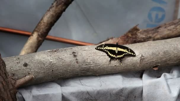 Small black and yellow butterfly on a branch