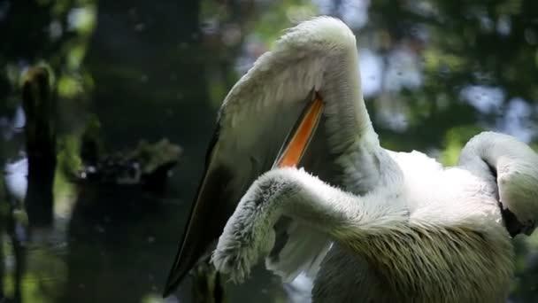 Pelikán celaning szárnyait