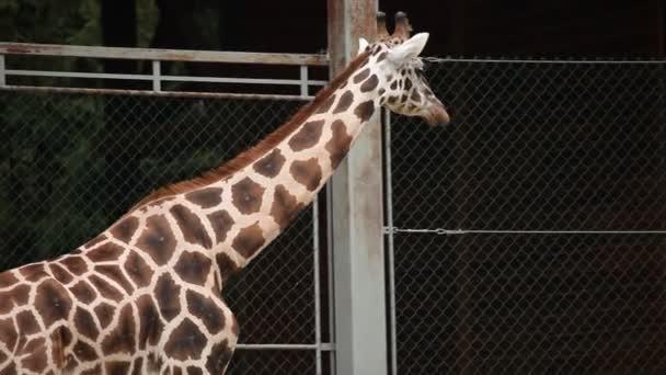 žirafy v zoo