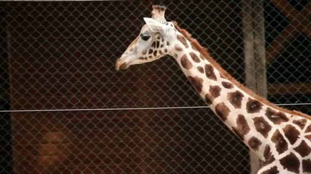 Giraffe in zoo walking