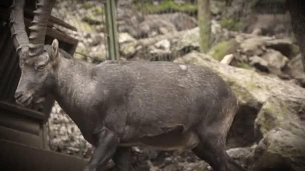 Steinbock im Zoo zu Fuß