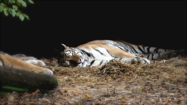 タイガー動物園横になっているの