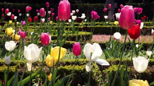 Shot barevné kvetoucí tulipány