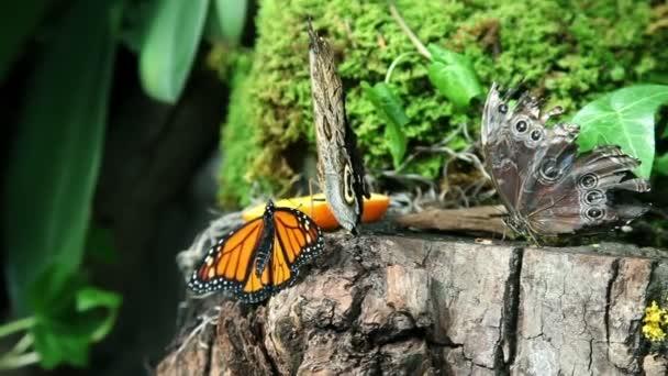 Butterflies eating an orange on a stump