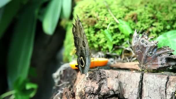 Butterflies eating an orange