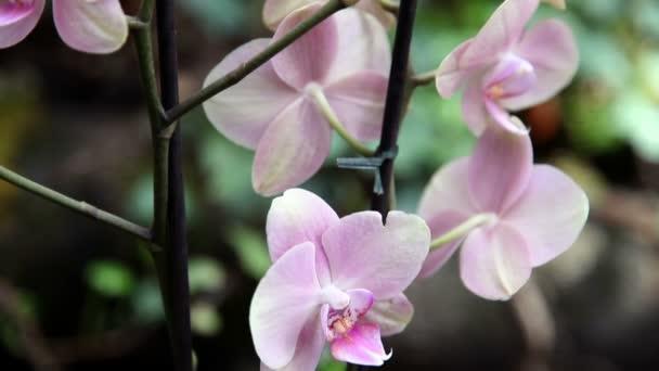 uzavřít pan záběr růžová orchidej