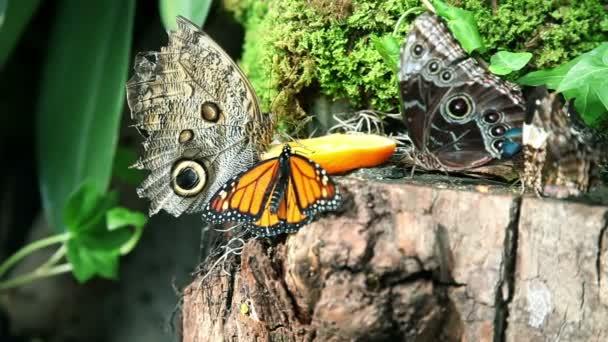 Beautiful butterflies eating an orange