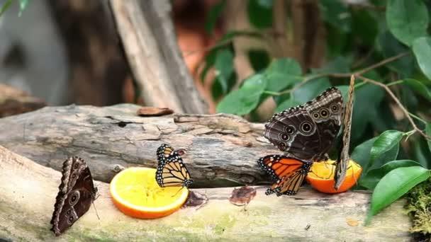 Exotischer Schmetterling Futterung Auf Einer Scheibe Orange