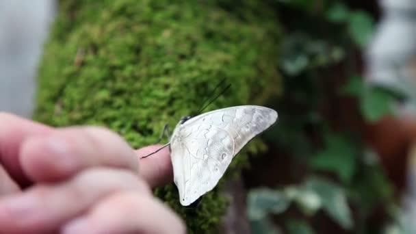 Egy szép barna pillangó egy névtelen kéz