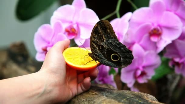 Butterfly eating an orange from woman